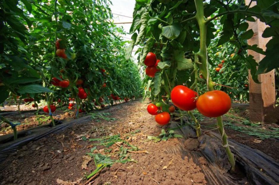 Krajowy rynek pomidorów wzrósł o 18 proc. w ostatnim dziesięcioleciu