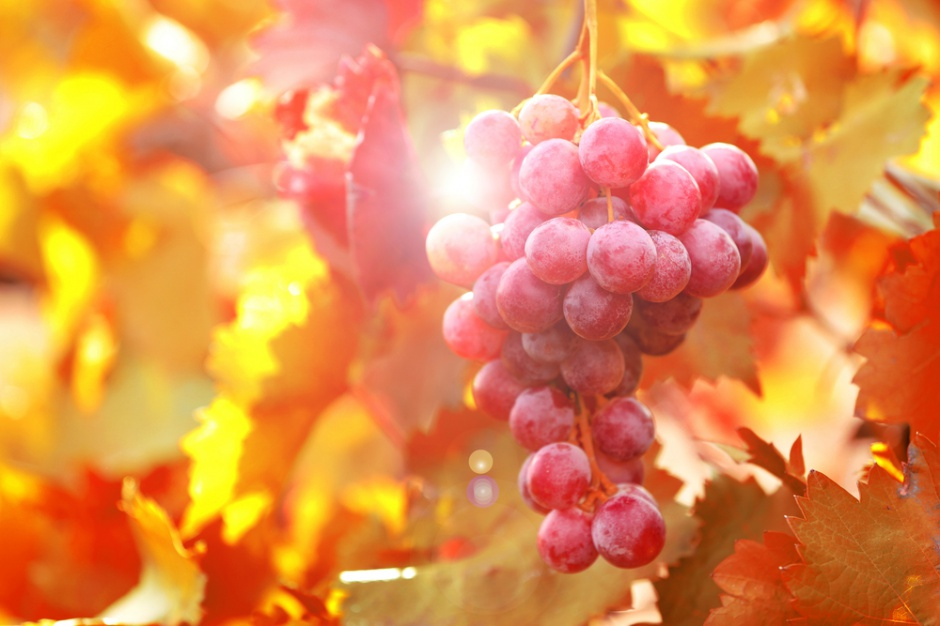 W Jaśle powstaje pierwsza w Polsce miejska winnica