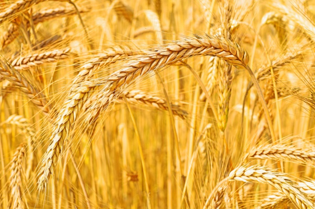 ARR: Zbiory zbóż na poziomie 28-29 mln ton