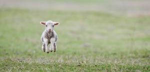 Australia: rośnie eksport mięsa jagnięcego