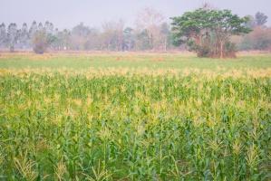 Rosja: Tegoroczne zbiory zbóż mogą być rekordowe