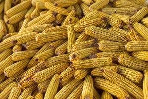 Brazylia czasowo rezygnuje z cła na kukurydzę