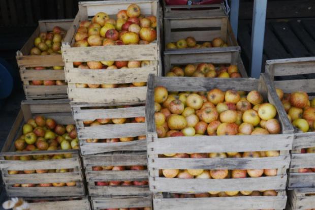 Stabilne ceny jabłek przemysłowych. Za 1 kg owoców trzeba zapłacić 15-20 gr