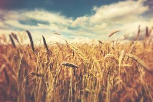 Dobra kondycja upraw pszenicy w Unii Europejskiej