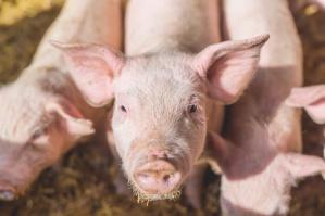 Rosja odpiera unijne zarzuty ws. zakazu importu wieprzowiny