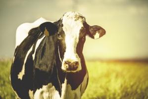 UE: spadek liczby krów mlecznych