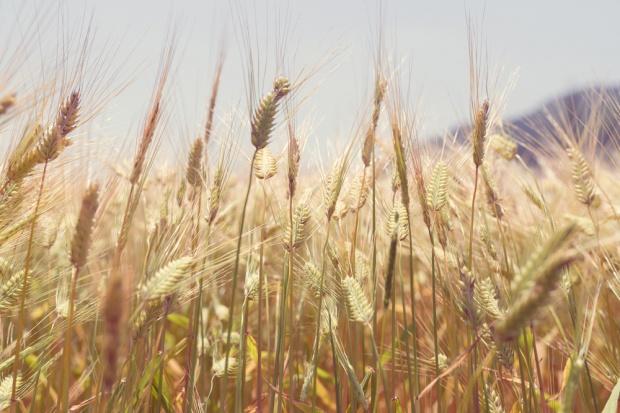 IERiGŻ: Zbiory zbóż wyższe niż przed rokiem