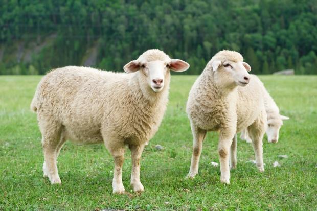 Rośnie import mięsa owczego i koziego do UE
