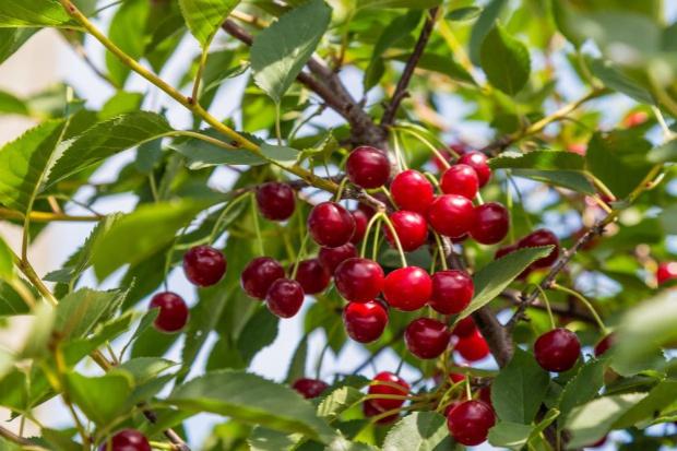 Turcja jest światowym liderem w produkcji czereśni i wiśni