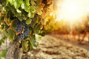 Lubuskie promuje swoje winnice