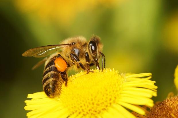 Naukowcy o leśnych pszczołach w barciach: miód dobrej jakości
