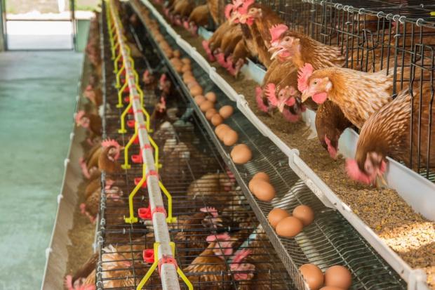 Pracownicy ferm drobiu w USA muszą chodzić w pieluchach. Na czarnej liście m.in. Tyson Foods