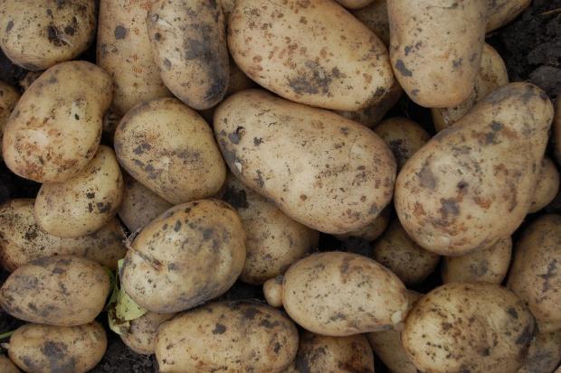 Польша по-прежнему остается картофельной державой в ЕС