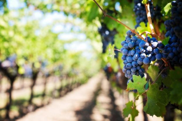 Większość podkarpackich winnic przyjmuje turystów