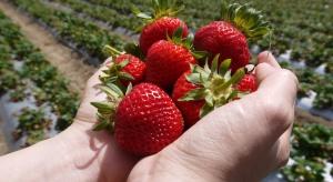Ceny truskawek podobne jak przed rokiem