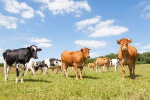 Brexit niebezpieczny dla brytyjskich eksporterów wołowiny