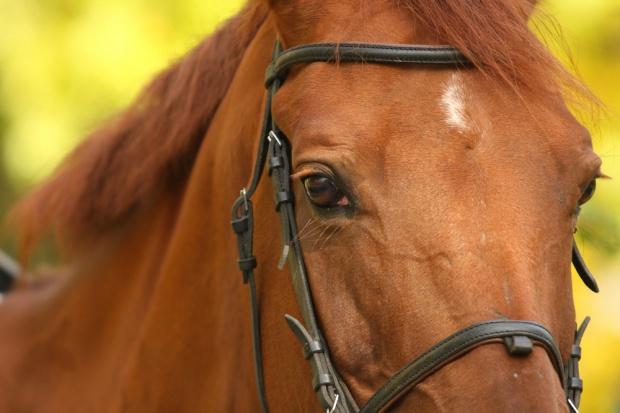Organizacje ochrony praw zwierząt przeciwko eksportowy żywych koni do Japonii