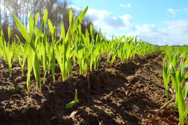 GUS: Powierzchnia zasiewu zbóż podstawowych większa o 6 proc.