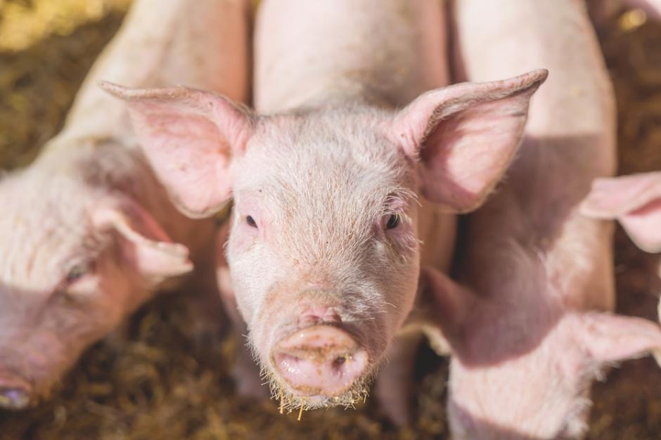 Polska wolna od klasycznego pomoru świń