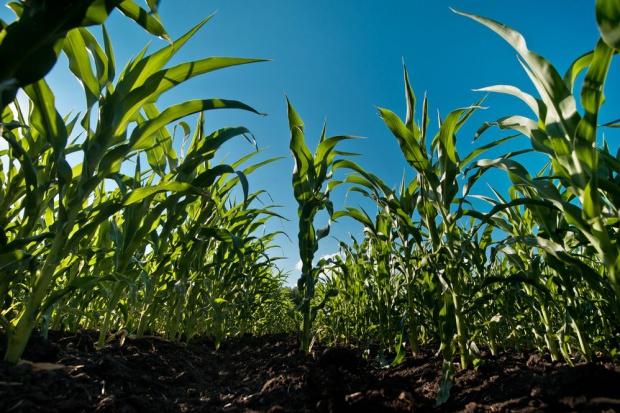 Problemy z dopuszczeniem do uprawy soi i kukurydzy GMO