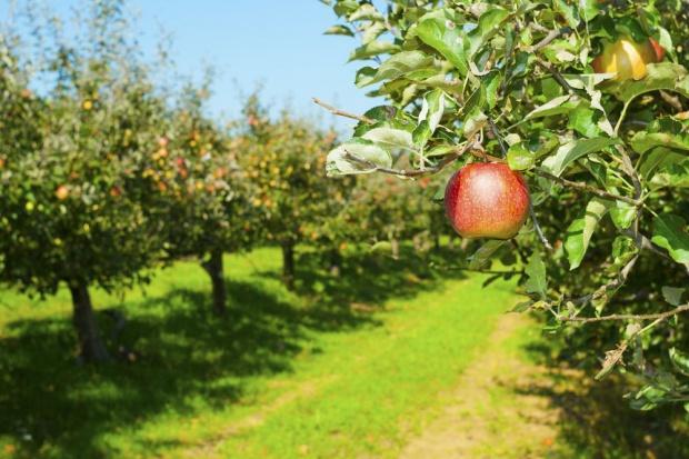 Kaliningrad sadzi jabłonie