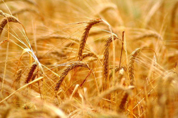 IERiGŻ: Tegoroczne zbiory zbóż wyniosą ok. 29-30 mln ton