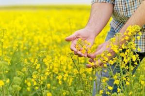 Wzrost cen roślin oleistych wspierany przez spadek zapasów
