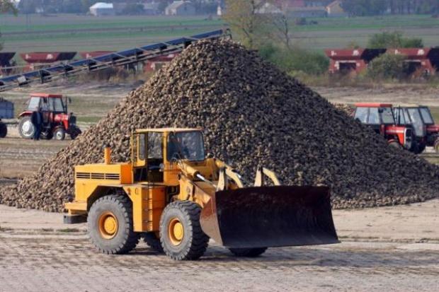 Zbiory buraków cukrowych w tym roku będą udane