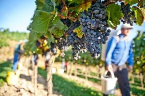 W Polsce przybywa upraw i producentów wina