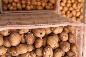 IERiGŻ: Ziemniaków jest mało a ich ceny wysokie