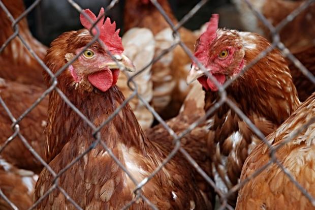 Spore spadki cen jaj. Niska opłacalność produkcji