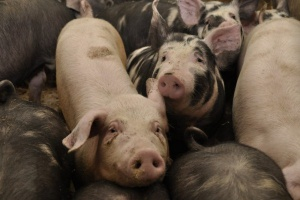 Świnie mają wiele do powiedzenia