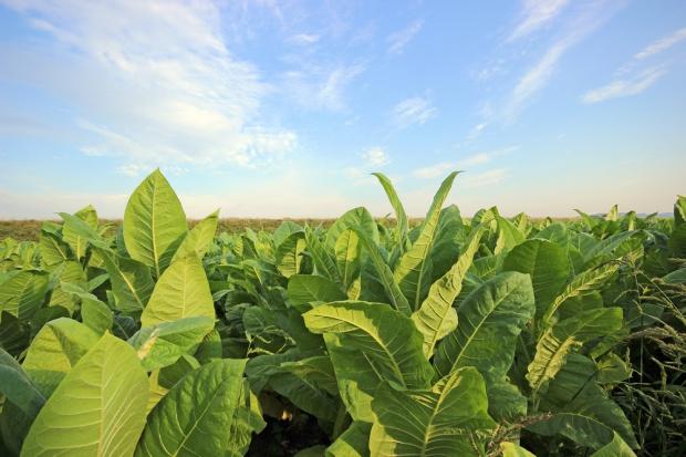 Ekspert BCC: Rejestracja pól tytoniowych pomoże w walce z szarą strefą
