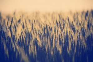 MRiRW apeluje o powoływanie komisji do szacowania strat po suszy