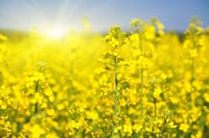 Ile rzepaku zbiorą rolnicy w tym sezonie?