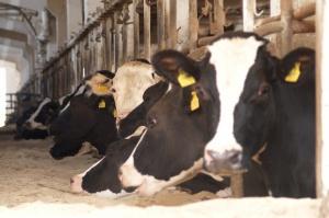 PFHBiPM: Spadek pogłowia krów mlecznych