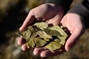 Kolumbia: Powierzchnia plantacji koki wzrosła dwukrotnie od 2014 roku