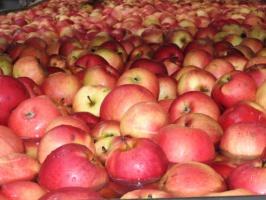 Polska powinna ograniczyć produkcję jabłek!