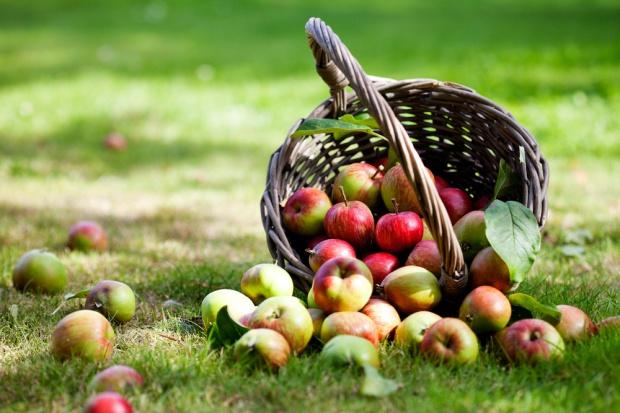 Sadownicy rozpoczęli sezon sprzedaży jabłek wczesnych odmian