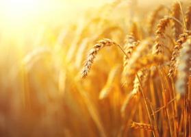 Jaka jakość ziarna zbóż?
