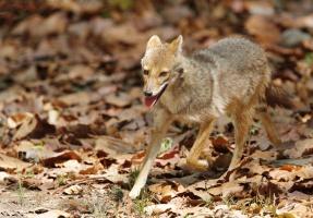 Węgry: Szakal złocisty dziesiątkuje zwierzęta dzikie i hodowlane
