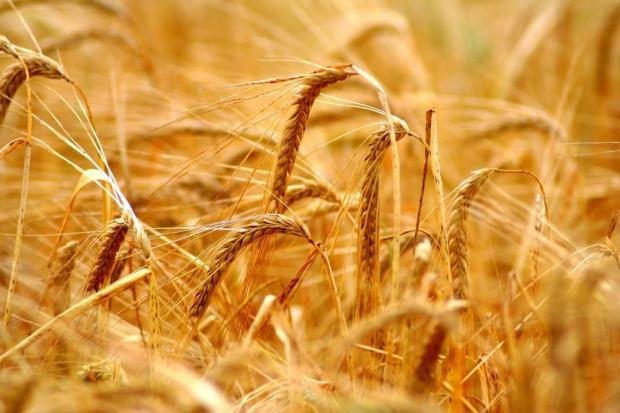 UE: Obawy o jakość pszenicy wpływają na ceny