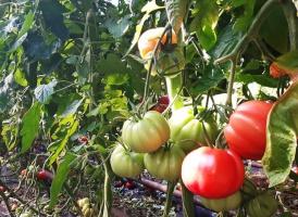 """Carrefour rozszerza markę własną """"Jakość z Natury"""" o pomidory malinowe"""