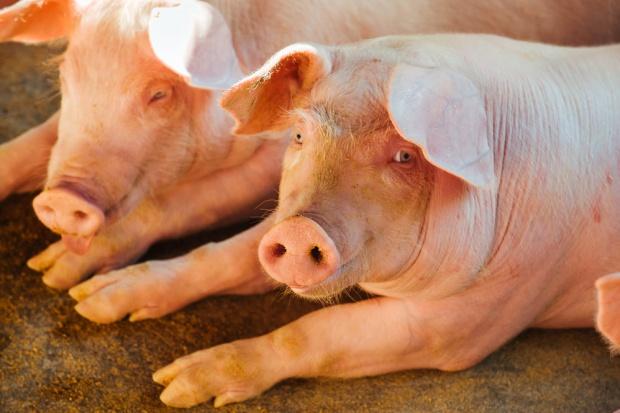 Chiny: wysoki import i ceny wieprzowiny