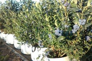 Firma Dar Blue planuje dalsze inwestycje w plantacje borówek w Chorwacji