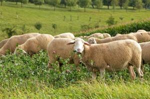 MRiRW chce odbudowy owczarstwa