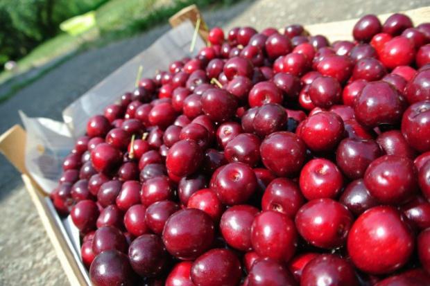 Związek Sadowników alarmuje, by wstrzymać zbiory wiśni