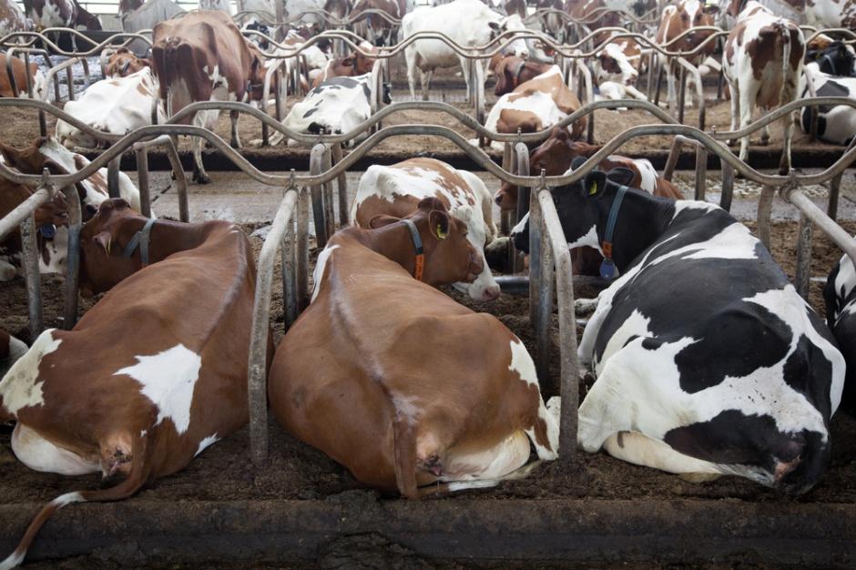 Spada krajowy skup bydła