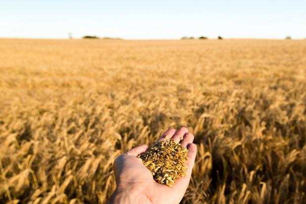 MRiRW: na rynku zbóż nie jest źle