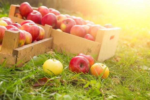 Niemcy: Większe zbiory jabłek przemysłowych